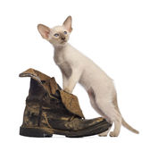 Oriental Shorthair kitten standing on dirty boot Royalty Free Stock Image