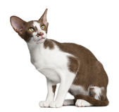 Oriental shorthair sitting Royalty Free Stock Images