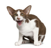 Oriental shorthair sitting and meowing Royalty Free Stock Photography