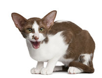 Oriental shorthair sitting and meowing. Against white background Stock Image