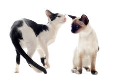 Oriental and siamese cat Royalty Free Stock Image