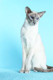 Oriental siamese cat blue eyes sitting light blue background Royalty Free Stock Photos