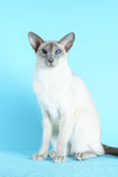 Oriental siamese cat blue eyes sitting light blue background Royalty Free Stock Images