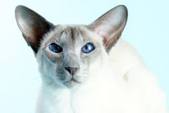 Oriental siamese cat blue eyes sitting light blue background Stock Image