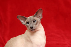 Oriental Siamese stock images