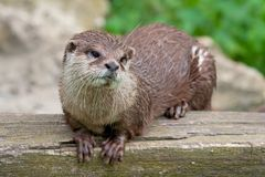 Oriental Small Clawed Otter Stock Photo