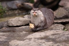 Oriental small-clawed otter Royalty Free Stock Photo