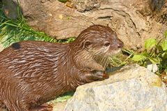 Oriental small-clawed otter Stock Photos