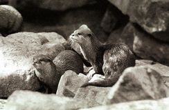 Oriental Small-clawed Otter Stock Photography