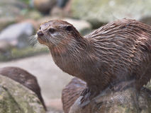 Oriental Small Clawed Otter Royalty Free Stock Image
