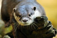Oriental Small-clawed Otter Royalty Free Stock Photography