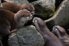 Oriental small-clawed otter (Amblonyx cinerea) stock photos
