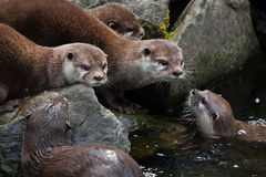 Oriental small-clawed otter (Amblonyx cinerea) stock image