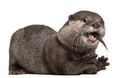 Oriental Small-clawed Otter, Amblonyx Cinereus Royalty Free Stock Photo