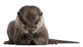 Oriental small-clawed otter, Amblonyx Cinereus Royalty Free Stock Images