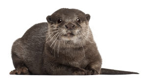 Oriental small-clawed otter, Amblonyx Cinereus Stock Photo