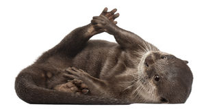 Oriental small-clawed otter, Amblonyx Cinereus Stock Photos