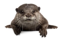 Oriental small-clawed otter, Amblonyx Cinereus Stock Image
