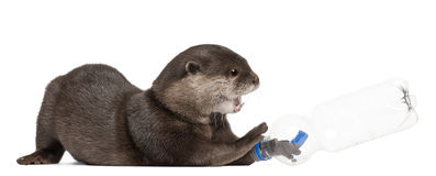 Oriental small-clawed otter, Amblonyx Cinereus Stock Photo