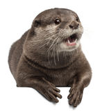 Oriental small-clawed otter, Amblonyx Cinereus Stock Photography