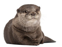 Oriental Small-clawed Otter, Amblonyx Cinereus Royalty Free Stock Photo