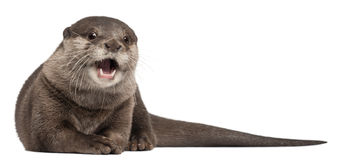 Oriental small-clawed otter, Amblonyx Cinereus Royalty Free Stock Photos