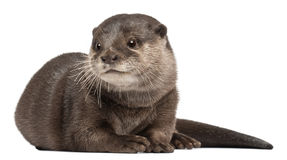Oriental small-clawed otter, Amblonyx Cinereus Stock Images