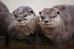 Oriental small-clawed otter Amblonyx cinereus stock image