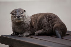 Oriental small-clawed otter Amblonyx cinereus stock photography