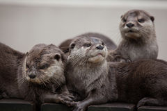 Oriental small-clawed otter Amblonyx cinereus royalty free stock photography