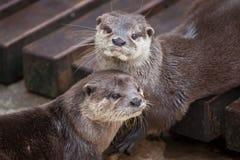 Oriental small-clawed otter Amblonyx cinereus royalty free stock image