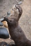 Oriental small-clawed otter Amblonyx cinereus royalty free stock photo