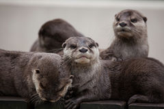Oriental small-clawed otter & x28;Amblonyx cinereus& x29; royalty free stock photography
