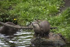 Oriental small-clawed otter Amblonyx cinereus, also known as t Royalty Free Stock Images