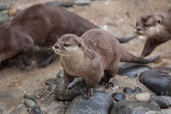 Oriental small-clawed otter Amblonyx cinereus. Also known as the Asian small-clawed otter Royalty Free Stock Image