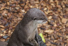 Oriental Small-clawed Otter - Aonyx Cinerea Stock Photography
