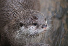Oriental Small-clawed Otter - Aonyx Cinerea Royalty Free Stock Images