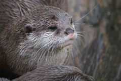Oriental Small-clawed Otter - Aonyx Cinerea Stock Image