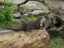 Oriental Small-clawed Otter - Aonyx Cinerea Stock Photo