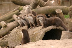 Oriental Small-clawed Otter - Aonyx Cinerea Royalty Free Stock Photo