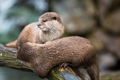 An oriental small-clawed otter / Aonyx cinerea / Stock Image