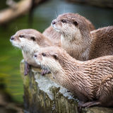An oriental small-clawed otter / Aonyx cinerea / Stock Images