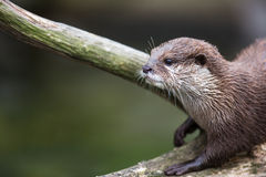 An oriental small-clawed otter / Aonyx cinerea / Royalty Free Stock Image