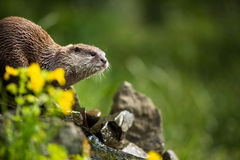 An oriental small-clawed otter / Aonyx cinerea / Stock Photography