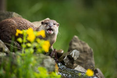 An oriental small-clawed otter / Aonyx cinerea / Royalty Free Stock Photography