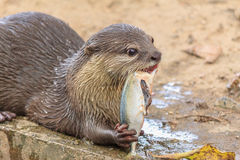 An oriental small-clawed otter / Aonyx cinerea Stock Photo