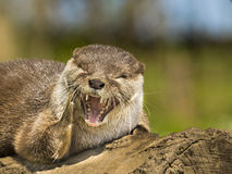 An oriental small-clawed otter / Aonyx cinerea / Asian small-clawed otter Royalty Free Stock Photos