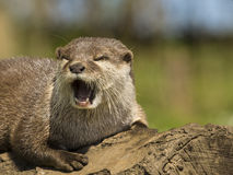 An oriental small-clawed otter / Aonyx cinerea / Asian small-clawed otter Royalty Free Stock Image
