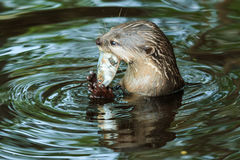 An oriental small-clawed otter , Aonyx cinerea, Asian small-clawed otter. Stock Photography