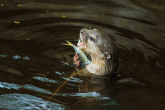An oriental small-clawed otter , Aonyx cinerea, Asian small-clawed otter. Stock Image